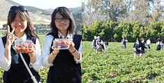 イチゴ摘み体験